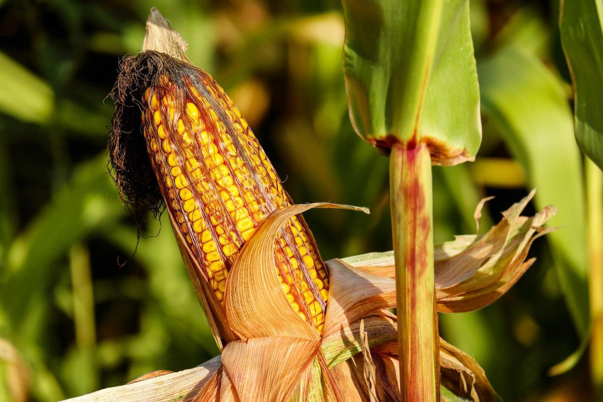 Virus Anxiety Makes Corn the Safer Bet for America's Farmers